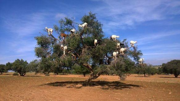 Essas cabras estão num pé de argan, que tem umas frutinhas que elas amam. Para mim, essa visão já valeu a viagem!